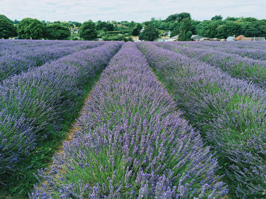 Lavender Fields in London photo ok but first coffee